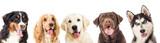 Fototapeta Dogs - portrait dogs