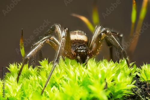 Cardinal Spider, Tegenaria parietina