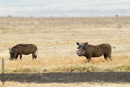 Photo  Warthog, Ngorongoro Crater, Tanzania