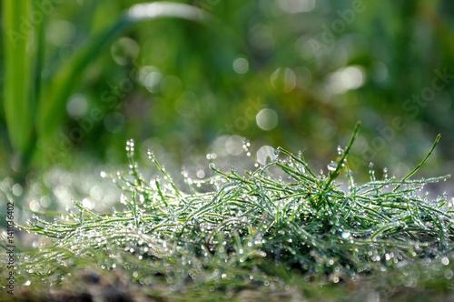 Staande foto Paardebloemen en water Green grass in drops of morning dew close up with bokeh.
