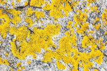 Yellow Lichen Or Moss Set On G...