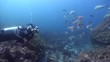 Housed SLR photographer taking images on rocky reef with Blackspot goatfish in Australia, HD