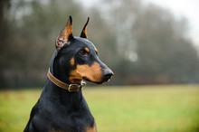 Black And Tan Doberman Pinscher Wearing Leather Collar Outdoors In Field