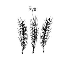 Hand Draw Rye Ears Sketch