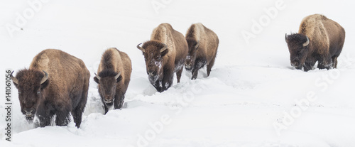 In de dag Buffel Bison trekking through the snow