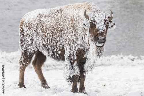 Bison covered with frost Tablou Canvas