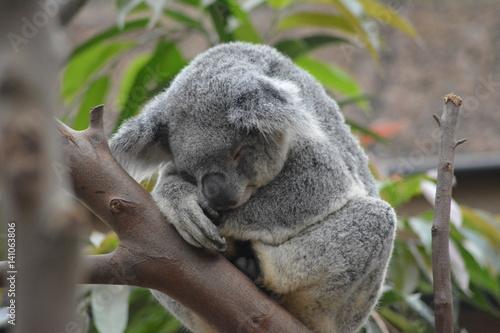 Printed kitchen splashbacks Australia Petit dodo sur ma branche