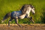 White beautiful pony with long mane run gallop