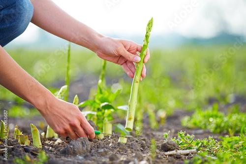 Fotografie, Obraz  Harvesting.of green asparagus with knife