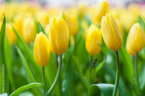 Beautiful yellow tulip flowers field