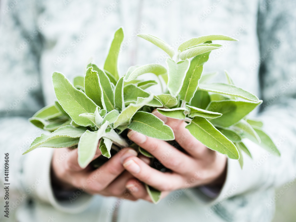 Fototapety, obrazy: A bunch of fresh wild sage in a woman's hands. Hands holding salvia in a forest