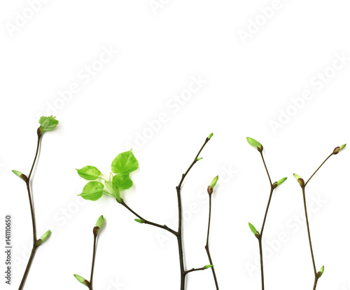 Fotografia  Young spring branches with leaves on white background