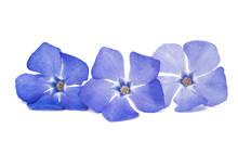 Flower Vinca Isolated