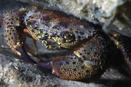 Round crab