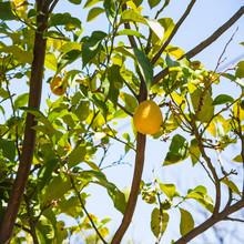 One Ripe Yellow Lemon On Tree