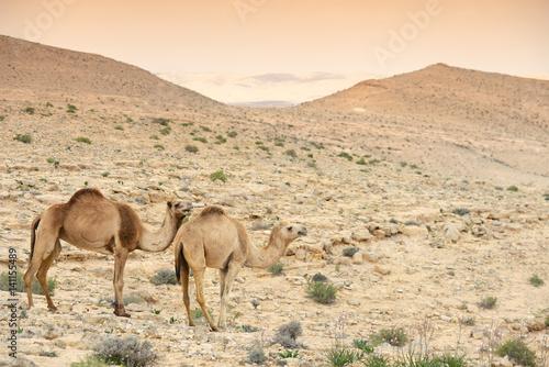 Camels in Judean desert near the Dead sea