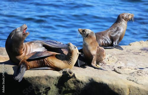 Fototapeta premium California Sea Lions in La Jolla Cove