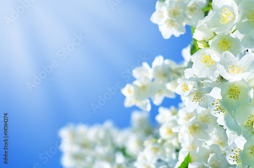 Summer background with jasmine flowers against the blue sky background Wallpaper Mural