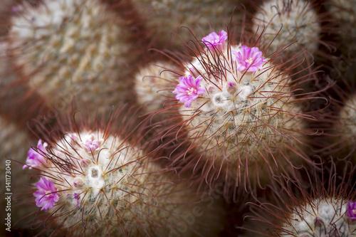 Staande foto Koraalriffen mammillaria bombycina, Seidiger Warzenkaktus