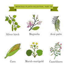 Vintage Collection Of Hand Drawn Medical Herbs And Plants, Silver Birch, Magnolia, Acai Palm, Corn, Marsh-marigold, Camelthorn