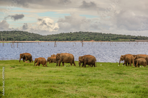 Aluminium Prints An elephant herd in Sri Lanka