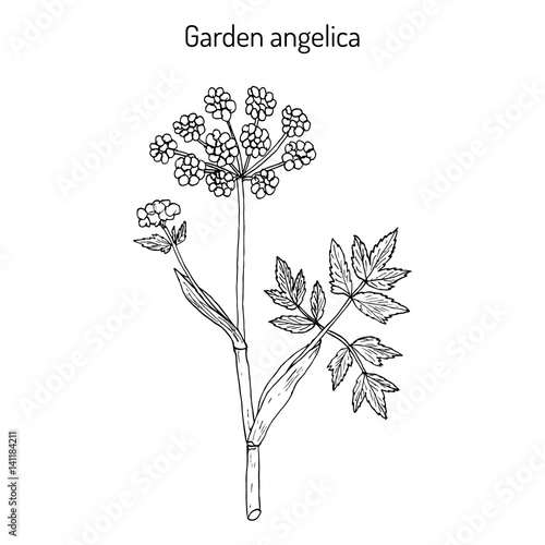 Garden angelica Angelica archangelica , or wild celery Fototapet