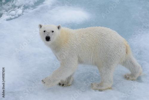 Poster Polar bear Polar bear on the ice