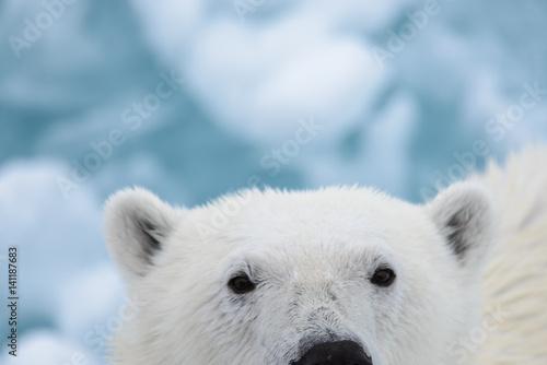 Recess Fitting Polar bear Polar bear on the ice