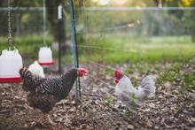 Chicken Meetup