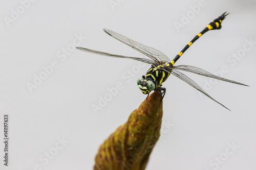 Dragonfly (Ictinogomphus Decoratus) on lotus leaf.