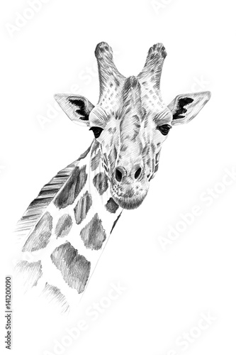 Portrait of giraffe drawn by hand in pencil Canvas Print