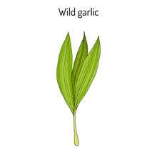 Wild Leek, Bear Garlic Allium ...
