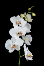 White Orchid On A Black Backgr...