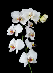 Obraz na PlexiWhite Orchid on a black background