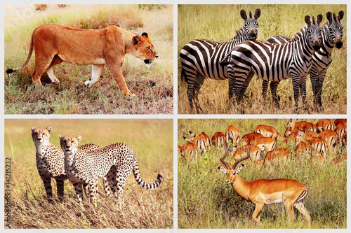 Wild African animals - lion, cheetah, zebra, antelope in the national park. African collage.