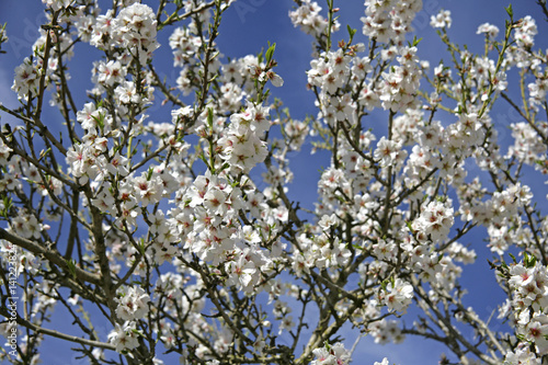 Almond Blossom in the spring on the island of Majorca, Balearic Islands, Spain, Poster