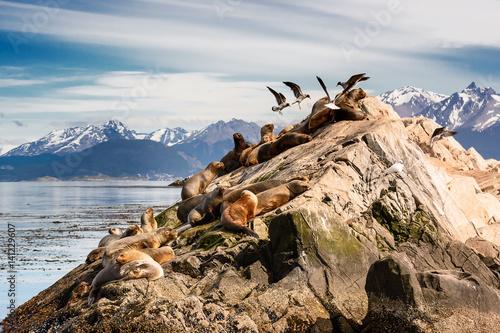 Fotografie, Obraz Sea lions and Albatros on isla in  beagle channel near Ushuaia (Argentina)