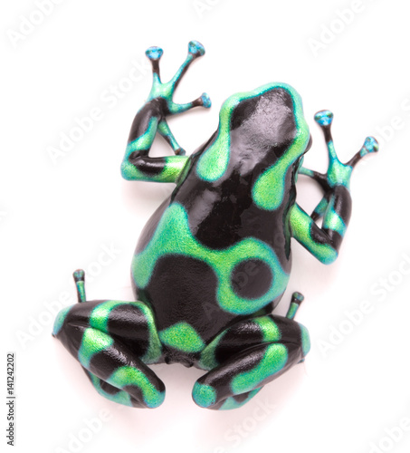 poison dart, Dendrobates auratus. A toxic tropical animal from the rain forest of Costa Rica. Isolated on a white background..