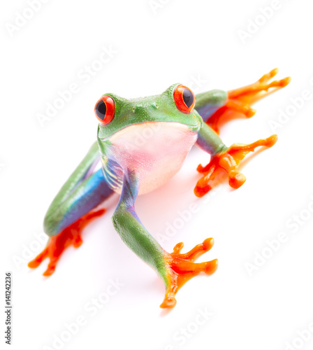 Tuinposter Kikker Red eyed monkey tree frog from the tropical rain forest of Costa Rica and Panama. A cute funny exotic animal with vibrant eyes isolated on a white background. .