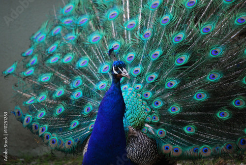 Fototapeta premium A Peacock with His Feather's Expanded