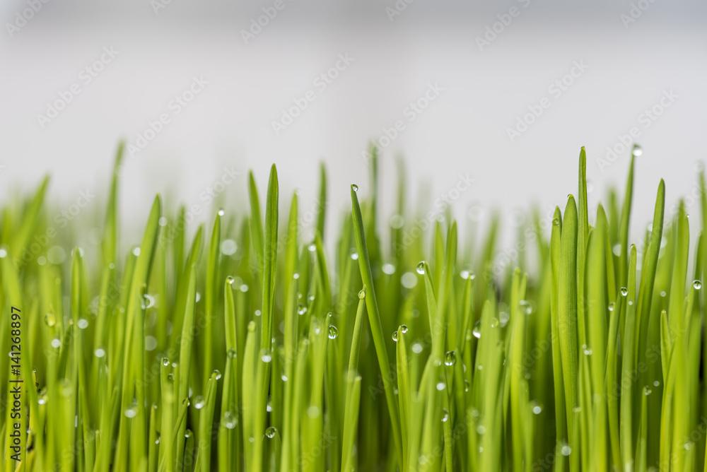 Fototapeta Krople rosy na młodej trawie.