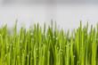 Krople rosy na młodej trawie.