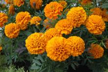 Orange Marigolds On A Flower Bed Closeup. Flowers