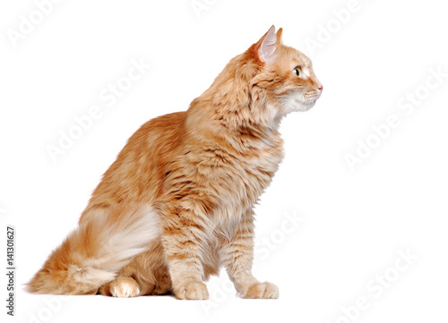 Fotografia Side view portrait of a sitting ginger cat looking to the side