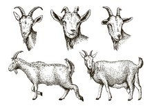 Sketch Of Goat Drawn By Hand. ...