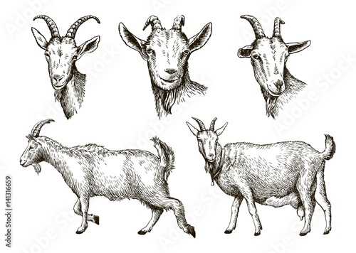 Fényképezés sketch of goat drawn by hand. livestock. animal grazing