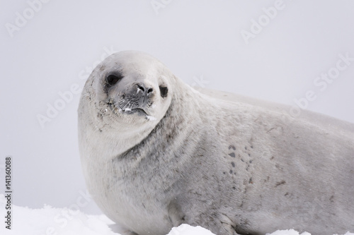Staande foto Antarctica Crabeater seal (Lobodon carcinophaga) on the ice, Wilhelmina Bay, Antarctica