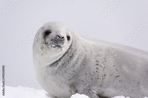 Poster Antarctica Crabeater seal (Lobodon carcinophaga) on the ice, Wilhelmina Bay, Antarctica