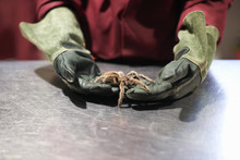 Mid Section Of College Student Wearing Protective Gloves Handling Chilean Rose Tarantula In Lab