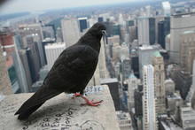 Dove On  Empire State Building